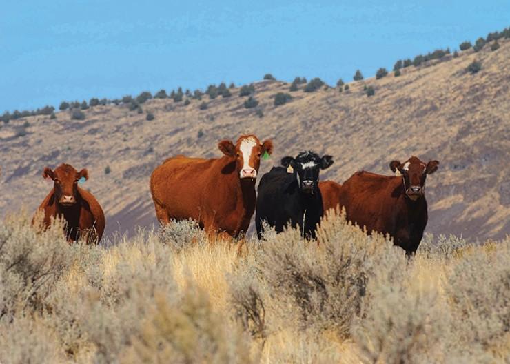 Oregon beef cattle