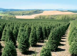 Oregon Christmastrees