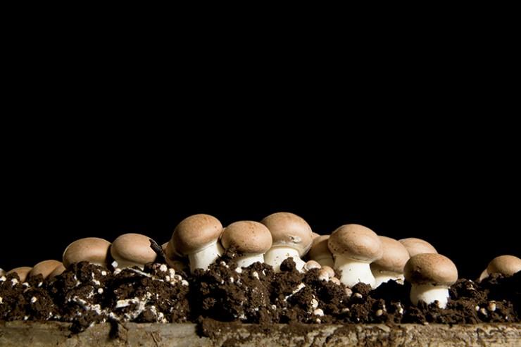 Mushrooms growing at Kitchen Pride Mushrooms in Gonzales, Texas