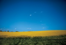 Canola fields in northern Middle Tennessee