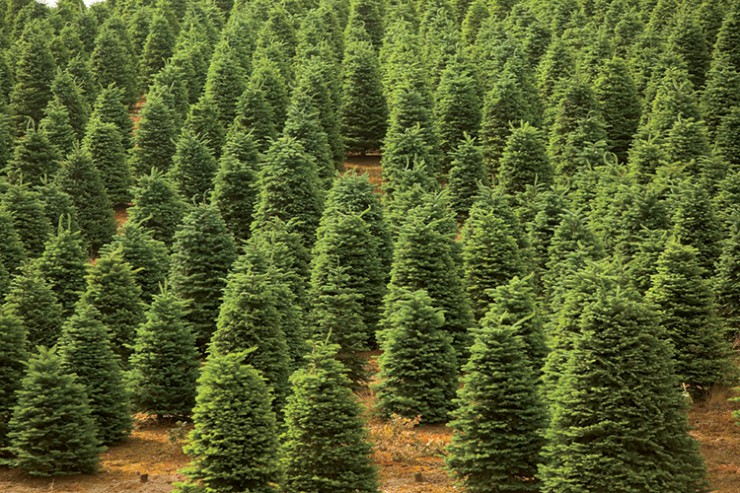 New Jersey Christmas Trees: The Reason For The Season