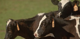 Indiana Dairy