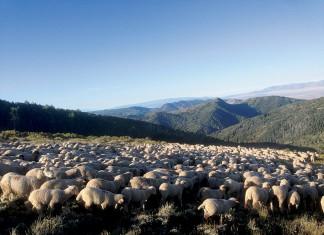 Utah sheep