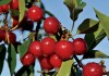 Utah tart cherries