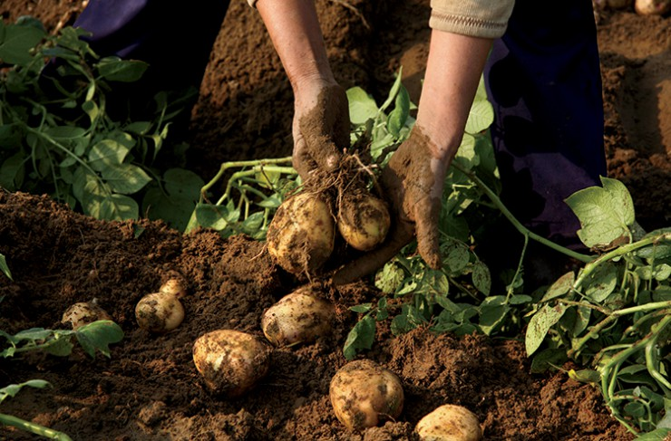 Planting the Seed for the Wisconsin Potato Industry | Farm Flavor
